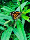 Orange and black butterfly. On a green plant royalty free stock photo