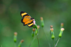 Orange-black butterfly on pink dandelion blossom Royalty Free Stock Photography