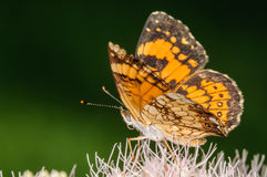 Orange and Black Butterfly on a Pink Flower. With a Dark Green Background Royalty Free Stock Photo