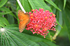 Orange and black butterfly on a pink flower. Photo of an orange and black butterfly (possibly a Mexican Silverspot) sitting on a pink flower with yellow polen Royalty Free Stock Image