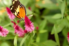Butterfly on a purple flower. Orange and black butterfly on a purple flower in a butterfly garden in Mindo, Ecuador royalty free stock photography