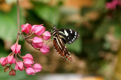 Butterfly on a purple flower. Orange and black butterfly on a purple flower in a butterfly garden in Mindo, Ecuador stock photo