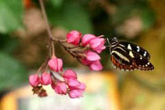 Butterfly on a purple flower. Orange and black butterfly on a purple flower in a butterfly garden in Mindo, Ecuador royalty free stock photos