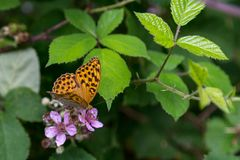 Butterfly. Orange and black butterfly on a purple flower in the forest stock photo