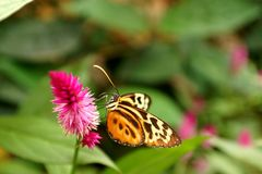 Butterfly on a purple flower. Orange and black butterfly on a purple flower in a butterfly garden in Mindo, Ecuador stock images