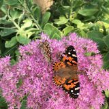 Orange & Black butterfly sitting on purple flowers. Orange & Black butterfly & x28;or possibly a moth& x29; sitting on purple flowers stock photos
