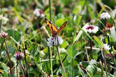 An Orange and Black Butterfly. Sitting on a white clover royalty free stock images