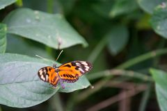 Butterfly detail. Orange and black butterfly on tropical green leaf royalty free stock image