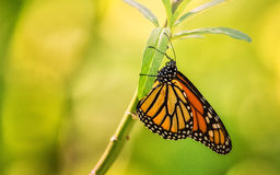 Orange and Black Butterfly. Walking on a Plant stock photo