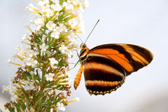 Orange and black butterfly on white flower. Closeup of orange and black striped butterfly on a white flowered plant Stock Image