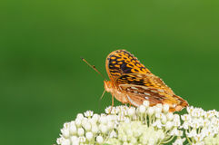 Orange and Black Butterfly on a White Flower Royalty Free Stock Images
