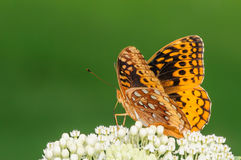 Orange and Black Butterfly on a White Flower. Gorgeous orange and black butterfly on white flowers with a green background Royalty Free Stock Photography