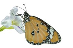 Orange and black butterfly and white flower on isolate white background. Orange and black butterfly and white flower on isolate white background and clipping stock photo