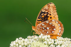 Orange and Black Butterfly on a White Flower. With a nice green background Stock Images