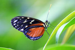 Orange and Black Butterly on Leaf. Close-up of a Tiger Longwing (Heliconius Hecale) butterfly on a leaf Royalty Free Stock Image
