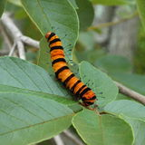 Orange and Black Caterpiller Royalty Free Stock Photos