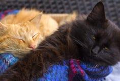 Orange and black cats Stock Photo
