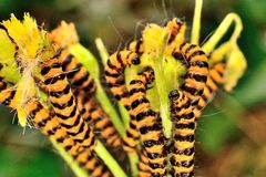 Orange and black cinnabar moth caterpillars Stock Images
