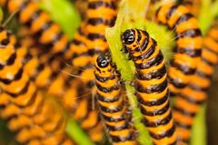 Orange and black cinnabar moth caterpillars Royalty Free Stock Images
