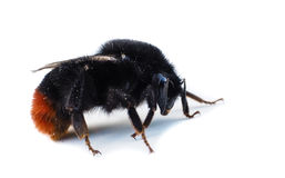 Orange and black colored bumblebee Stock Image