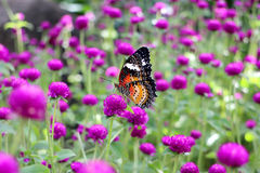 Orange and black dotted wings in meadow park, Leopard Lacewing butterfly on purple amaranth flower. Royalty Free Stock Images