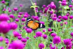 Orange and black dotted wings in meadow park, Leopard Lacewing butterfly on purple amaranth flower. Stock Image