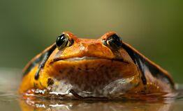 Orange and Black Frog Royalty Free Stock Photography