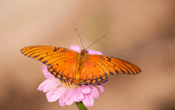 Orange and black Gulf Fritillary butterfly Stock Photo