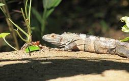 Orange and black Iguana Royalty Free Stock Images