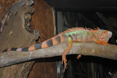 Orange and black Lizard. Resting on a branch Royalty Free Stock Images