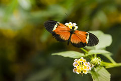 Orange and Black Longwing Butterfly on Flower Royalty Free Stock Photo