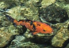Orange and Black Lucky Koi Fish Royalty Free Stock Photography