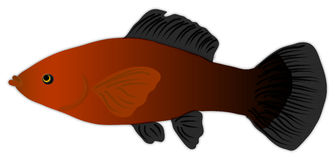 Orange and Black Molly Fish. Illustration of an orange and black female Molly fish Stock Images