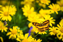 Orange and black Monarch butterfly among yellow da. Orange and black Monarch butterfly floats among yellow daisies and other flowers royalty free stock photo