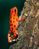 Orange and Black Poison Darth Frog Stock Photo