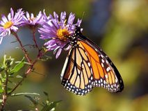Orange and Black Polka Dot Butterfly Perch on Purple Flower during Daytime Royalty Free Stock Photo