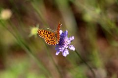 Orange with black spots butterfly with open wings on top of violet flower surrounded with leaves and plants background in local. Garden on warm sunny day stock photo