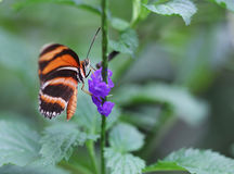 The orange with black stripes butterfly sitting on purple flower. The bright orange with black stripes butterfly sitting on purple flower Stock Images