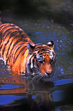 Orange and Black Tiger on Body of Water Stock Photo