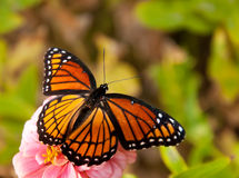 Orange and black Viceroy butterfly Stock Photos