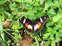 Orange with black + white butterfly - Jakarta. OBlack and White with orange butterfly - Jakarta Indonesia Royalty Free Stock Photography