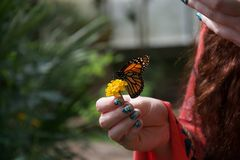 An orange, black and white butterfly on a yellow flower in a lady`s hand. A lady with painted nails holds a small yellow flower with an orange, yellow, black and royalty free stock photography