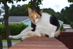 Orange, Black and White Calico Cat. This is a photo of an orange, black, and white calico cat with the right leg stretched out because it just got finished Royalty Free Stock Photography