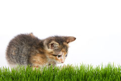 Orange black and white tricolor calico tortie tabby kitten. Lunging at grass with white background Royalty Free Stock Photo