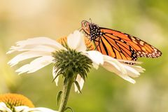 Orange and black wings of a monarch butterfly stock photography