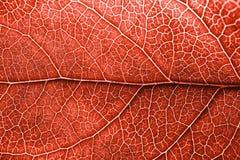 Orange blad för höst med bruna fläckar Skelett- bladbakgrund med detaljer arkivfoton