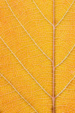 Orange bladmakro Arkivbilder