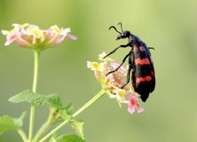 ORANGE BLISTER BEETLE. THIS IS A RATHER ATYPICAL BLISTER BEETLE. ADULTS FEED ON LEAVES IN THE TOPS OF A PLANT BUT ARE ESPECIALLY ATTRACTED TO FLOWERS WHERE THEY Royalty Free Stock Images