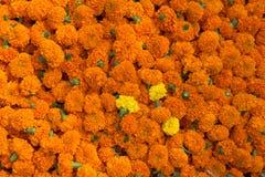 Orange blom- bakgrund av ringblommor Royaltyfri Bild