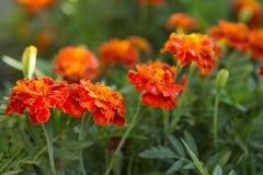 Orange blom- bakgrund av ringblommor Fotografering för Bildbyråer